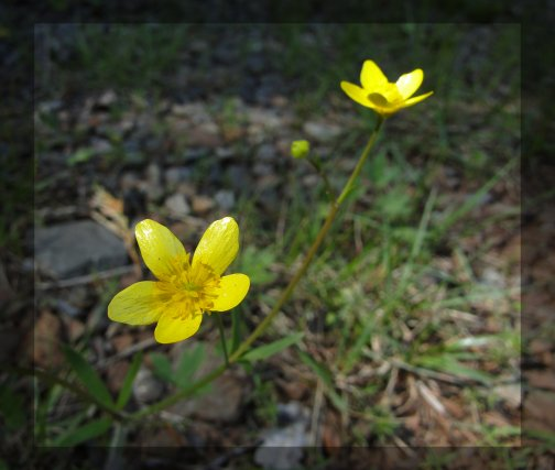 Buttercups,Rough and Ready Creek, Josephine County