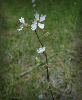 Small-flowered Prarie Star (Lithophragma parviflora)