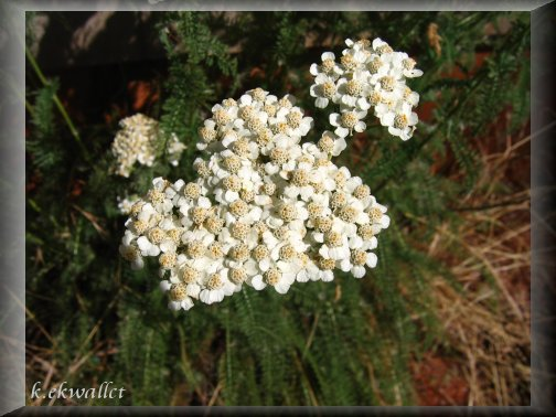 Common Yarrow/Achillea millefolium